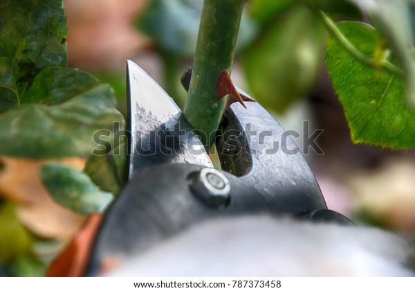 Rosa sp. de cultivo de poda con secadores de jardín en el jardín de otoño