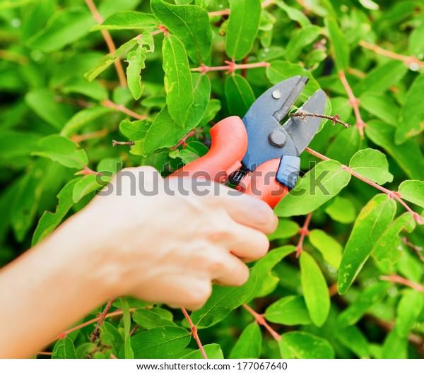 Pruning leaves with garden pruner.