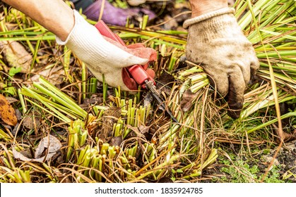 Pruning perennial plants for the winter with a secateurs. A woman in gardening gloves works in the garden.