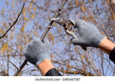Pruning prunus pruning shears. Trimming the tree with a cutter. Spring pruning of fruit trees.