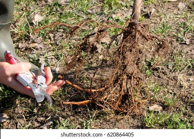 Pruning the roots of the fruit tree before planting / spring work in the garden