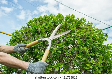 pruning shears in hand. secateurs hand bush