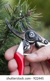 Pruning a small pine tree shrub in the winter