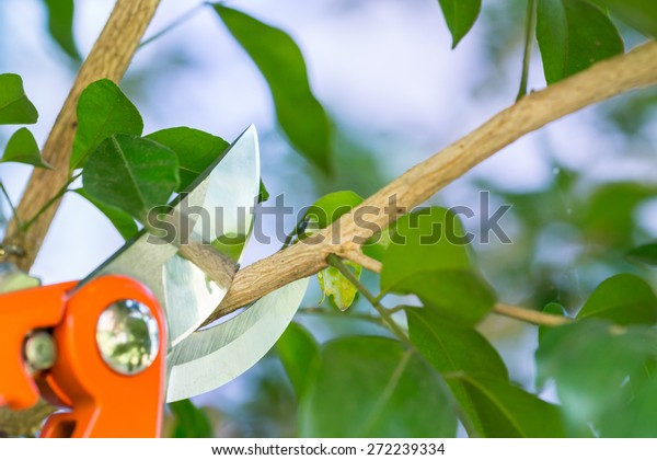 Pruning a tree branch with a garden
