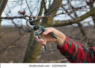 Pruning tree in orchard, closeup of hand and shears tool