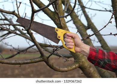 Pruning tree in orchard, closeup of hand and handsaw tool
