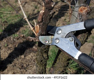 Pruning in a wineyard 3.