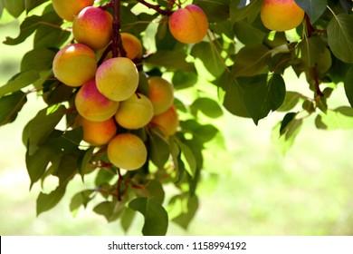 Prunus armeniaca tree or  apricot  at  Wachau Krems Austria.