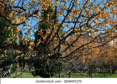 Prunus cerasifera (also known as cherry plum or myrobalan plum) tree in a park