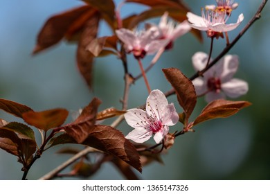 Prunus Cerasifera Pissardii Tree blossom with pink flowers. Spring twig of Cherry, Prunus cerasus on  beautiful blurred natural garden background. Selective focus