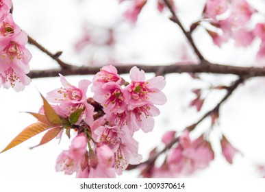 Prunus cerasoides flowers. pink flowers blooming in the winter. Refreshing morning and cold weather with fog background. Sunshine morning in the winter.