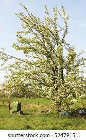Prunus cerasus avium