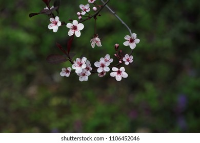 Prunus Cistena Sandcherry blossom flowers  in early Spring season