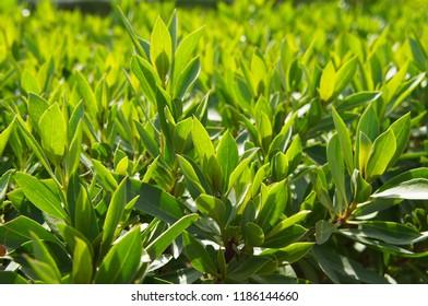 Prunus laurocerasus or cherry laurel or common laurel  green plant in sunlight
