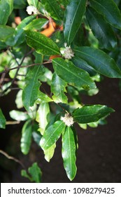 Prunus laurocerasus or cherry laurel green leaves with white flowers