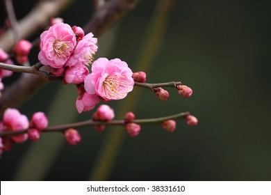 Prunus Mume