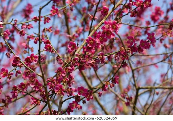 Prunus Mume Asian Tree Species Classified Stock Photo Edit Now