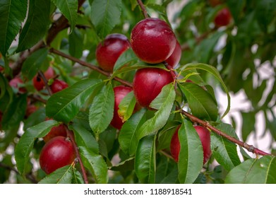 Prunus persica nucipersica tree branches full of red fruits, ripening smooth skin peaches on the tree, summer season