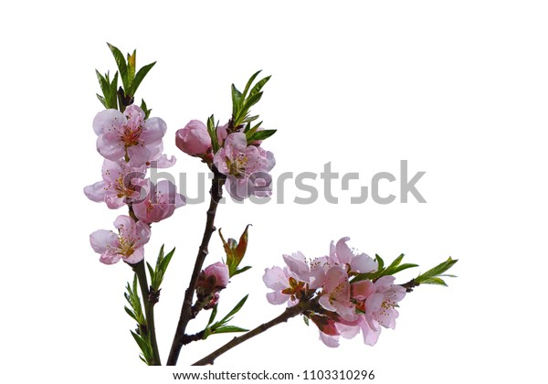 Prunus Persica peach blooming flowers isolated on white background