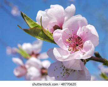 Prunus persica  - Pink peach blossom