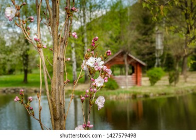 Prunus serrulata or Japanese cherry on blurred lake with wooden house in forest background