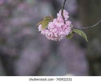 Prunus serrulata or Japanese Cherry;  is  species native to Japan, Korea and China