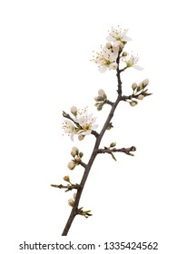 Prunus spinosa, blackthorn aka sloe blossom in springtime, isolated on white background. Delicate white flowers, close up detail.