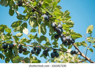 Prunus spinosa (blackthorn, or sloe). The fruits of blackthorn (Prunus spinosa). prunus spinosa berries commonly known as blackthorn or sloe