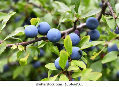 Prunus spinosa with blue fruits