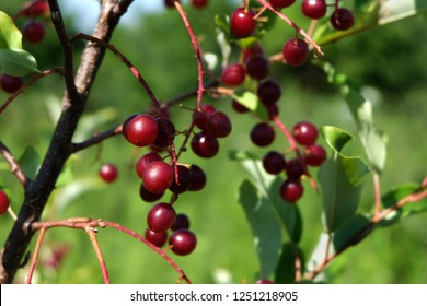 A Prunus Virginiana shrub, close up with a field background. Prunus Virginiana is commonly called Bitter-berry, Chokecherry, Virginia bird berry, and Western chokecherry. Edible fruit, but bitter.