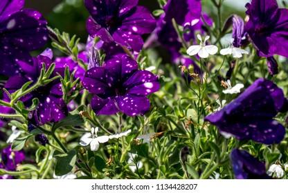 pruple flower close up petunia night sky sunny - Shutterstock ID 1134428207