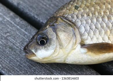 Prussian carp, silver Prussian carp or Gibel carp, Carassius gibelio, a harmful invasive species