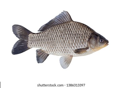 The Prussian carp, silver Prussian carp or Gibel carp  isolated on a white background