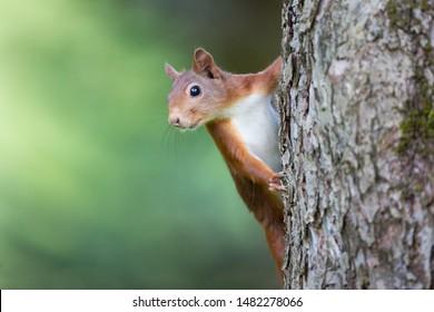 prying red squirrel (sciurus vulgaris)
