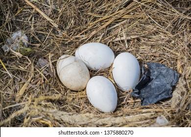 Przemysl / Poland - April 18 2019: storks eggs in the nest