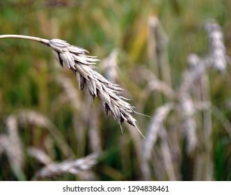 Przemysl / Poland - August 27 2013: single wheat