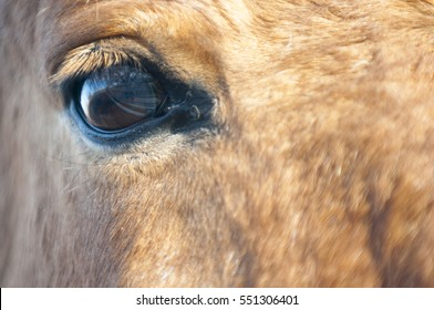 The Przewalski horse (equus Ferus Przewalski), also known as the Asian wild horse. A close-up photograph of the eye of the horse.