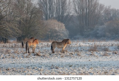 Przewalski Horse Winter