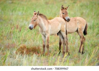 Przewalski horses in the Altyn Emel National Park in Kazakhstan