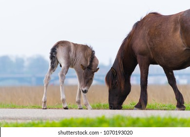 przewalski horses in the flood plains of the Waal river in the Netherlands