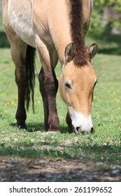 Przewalski horses are not known yet long: Only in 1880 it was discovered by the Russian Asia researcher colonel Nikolas Michajlowitsch of Przewalski.