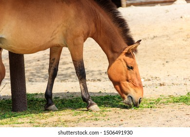 Przewalski wild horse in a paddock. Przewalski's horse (Equus przewalskii or Equus ferus przewalskii) also called the Mongolian wild horse, is a rare and endangered horse