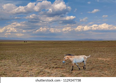 Przewalski wild horse in the steppes of Kazakhstan.