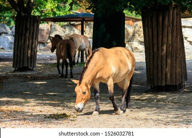 Przewalski wild horses in a paddock. Przewalski's horse (Equus przewalskii or Equus ferus przewalskii) also called the Mongolian wild horse, is a rare and endangered horse