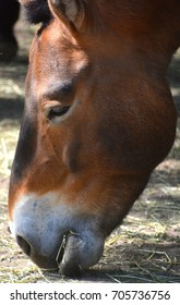 Przewalski's Horse or Dzungarian Horse, is a rare and endangered subspecies of wild horse (Equus ferus) native to the steppes of central Asia, specifically China and Mongolia