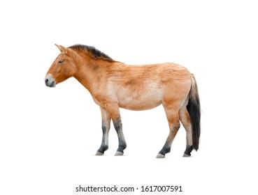 Przewalski's horse isolated over a white. lat. Equus przewalskii caballus, wild horse. White background