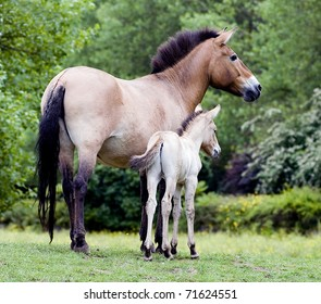 Przewalski's Horse Mare and Foal