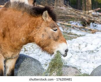 Przewalski's horse (Mongolian wild horse) eating grass
