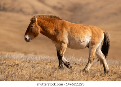 Przewalski's Horse portrait in the magical soft light during winter time in Mongolia. Horse in the chilly morning weather. Misty morning in Mongolia. Equus ferus przewalskii. Hustai National Park.