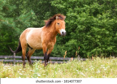Przewalski's horse stands among the grass